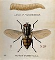 The larva and fly of a house fly (Musca domestica). Coloured Wellcome V0022571.jpg
