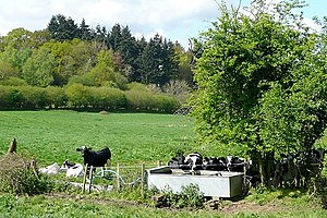 English: Thirsty work for cows A hot morning a...