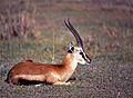 Thomson's Gazelle (Eudorcas thomsonii) (8290982189).jpg