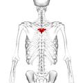 Thoracic vertebra 5 posterior.png
