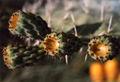 Thorn1.jpg