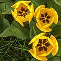 Three Yellow Tulips (14207957436).jpg