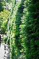 Thuja occidentalis hedgerow.jpg