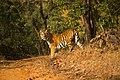 Tiger satpura .jpg