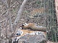 Tigers at Bannerghatta National Park 4-24-2011 12-19-26 PM.JPG