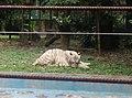 Tigers in Zoo Negara Malaysia (13).jpg