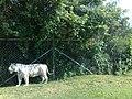 Tigre blanco en el Zoofari, Cuernavaca, Morelos.jpg