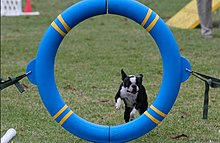 A Boston Terrier performing in the Agility ring