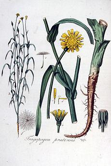Äldre illustration av en haverrot (Tragopogon pratensis). Ur Flora Batava, 1828.