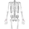 Trapezium bone 02 dorsal view.png
