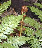 A tree fern unrolling a new frond