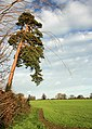 Tree and field on the western approach to Rickinghall - geograph.org.uk - 301211.jpg