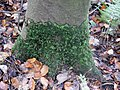 Tree sock on sycamore, Lambroughton Wood, Chapeltoun, North Ayrshire.jpg