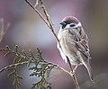 Tree sparrow (50884214307).jpg