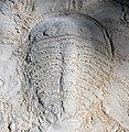 Trilobite in the sand 2 (46789949661).jpg