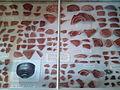 Trimontium pottery fragments Melrose Abbey 20140527.jpg