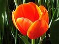 Tulip-6012.jpg