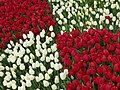 Tulip 1300200.jpg