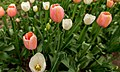 Tulip Bloom In Central Park (256839227).jpeg