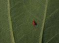 Tulip Tree Liriodendron tulipifera Leaf Underside Red Mite 2700px.jpg
