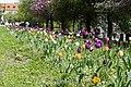 Tulip flowers in Prague 1.jpg