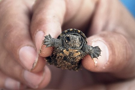 Recently born turtle