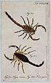 Two scorpions; Tityus varius and Tityus arrogans. Coloured e Wellcome V0022428ER.jpg