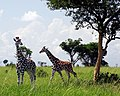 Two young giraffes in Murchison Falls National Park.jpg