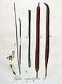 Typha angustifolia — Flora Batava — Volume v4.jpg