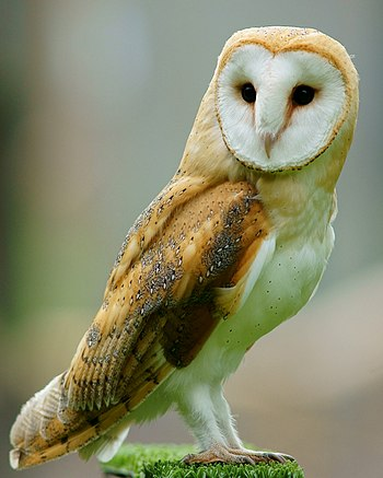 A Barn Owl at British Wildlife Centre, Surrey,...