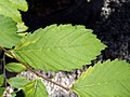 Ulmus americana (American elm) 2.jpg