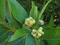 Umbellularia californica 01.jpg