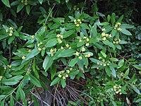Umbellularia californica 02