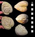 Undated Carved Stone Fossil Head (FindID 201853).jpg