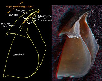 Cephalopod beak - Image: Upper beak Chiroteuthis picteti oblique view