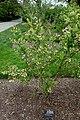 Vaccinium corymbosum cv. Patriot - Longwood Gardens - DSC00837.JPG