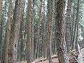 Vagamon-pine forest.jpg