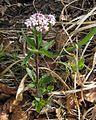 Valeriana tripteris PID1796-1.jpg