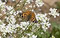 Vanessa cardui - Diken kelebeği 09.jpg