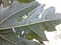 Varíola no mamoeiro 01.jpg