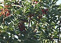 Varied Thrush - only photos we were able to get (31749875228).jpg