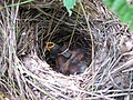 Veery Nest with chicks (Catharus fuscescens) (7686084330).jpg