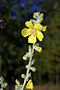 Verbascum thapsus 01 by-dpc.jpg