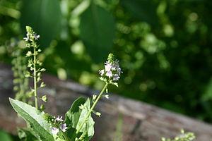 Flowers of Veronica americana