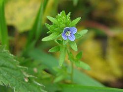 Veronica arvensis detail.jpeg