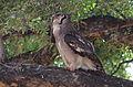 Verreaux's eagle-owl, or giant eagle owl, Bubo lacteus eating a snake at Pafuri, Kruger National Park, South Africa (20497334748).jpg
