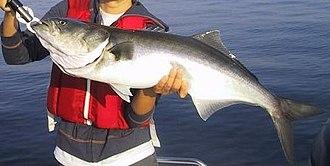Bluefish - A large bluefish.