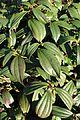 Viburnum davidii kz1.jpg