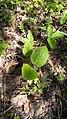 Viburnum lantana (Caprifoliaceae) 02.jpg