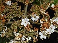 Viburnum rhytidophyllum 2016-05-17 0590.jpg